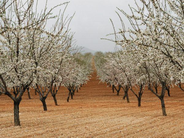 Agroalimentario_Almendros